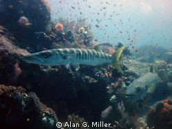 Barracuda.... not on my usual Kodachrome, but with my Oly... by Alan G. Miller
