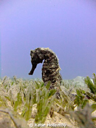 A beautiful seahorse.... by Katie Hollamby