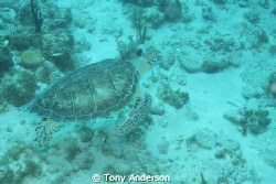 Turtle by Tony Anderson