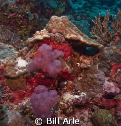 Reef scene.  Coral Sea.  Canon G10, Ikelite housing, stro... by Bill Arle