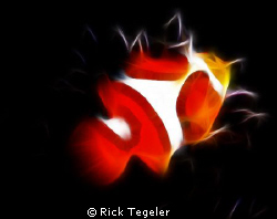 Clown anemonefish... Walindi, West New Britain, PNG by Rick Tegeler