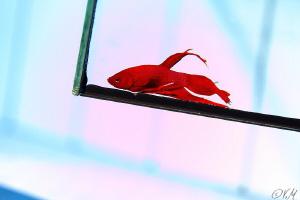 Beta fish in the pool. No p.c work by Veronika Matějková