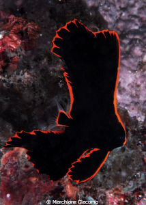 Young Batfish Nikon D200, 60 micro, twin strobo Lembeh ... by Marchione Giacomo