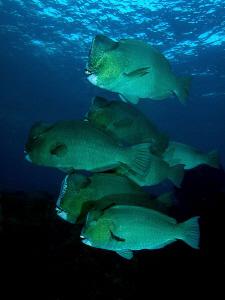 Bumphead Parrotfish, Tulamben by Doug Anderson