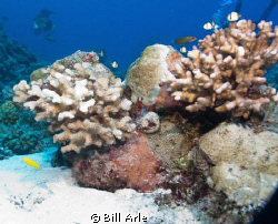 Osprey Reef, Coral Sea.  Canon G-10, Ikelite housing, str... by Bill Arle