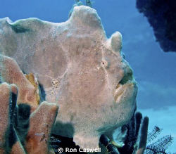 Giant Frog Fish by Ron Caswell