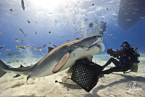 This Tiger Shark was so curious he bit our float! This wa... by Steven Anderson