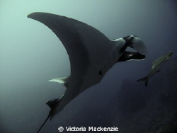 Lovely Manta, yay! by Victoria Mackenzie