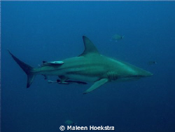 Black Tip Reef Shark cruising!! by Maleen Hoekstra