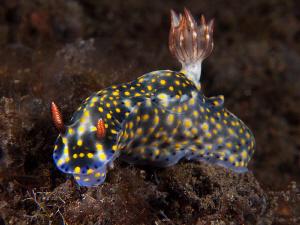 Hypselodoris kanga, Tulamben by Doug Anderson
