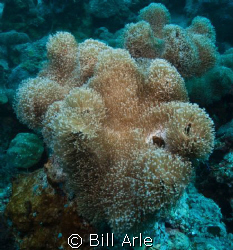 Coral Sea. Canon G-10, Ikelite housing, strobes and dome ... by Bill Arle