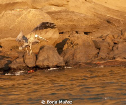 A beautiful pelican fyling by almos at sunset. I was abl... by Borja Muñoz