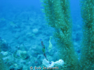 Tiny filefish, at first i thought it was a seahorse by Bob Jeannetti