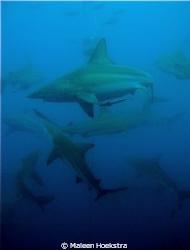 Sharks by Maleen Hoekstra