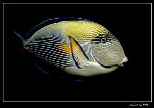 This surgeon fish was waiting for the divers to end the d... by Daniel Strub