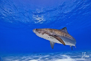 This Tiger Shark at Tiger Beach makes many passes out of ... by Steven Anderson