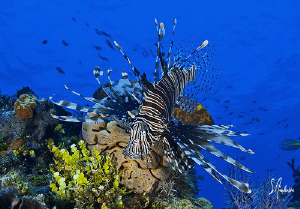 Lionfish are a common sight when diving in the Bahamas as... by Steven Anderson