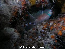 Shrimp and sleeping ParotFish by David Marchette