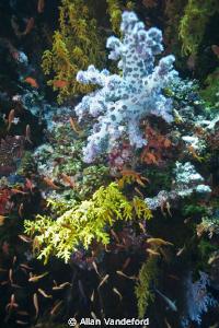 Exceptional color at Coral Corner in Fiji.  Image taken w... by Allan Vandeford