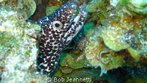 Moray Eel close up by Bob Jeannetti