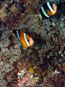 Clown anenmone fish taken at Canyons dive site Puerto Gal... by Jeffrey Smith