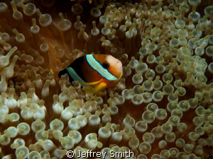 Clown Anemone fish. Coral cove dive site Puerto Gallera by Jeffrey Smith