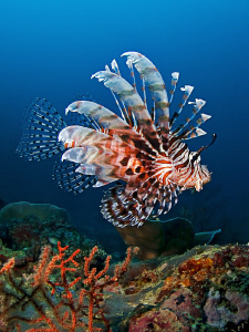 """""""Lionfish""""  by Henry Jager"""