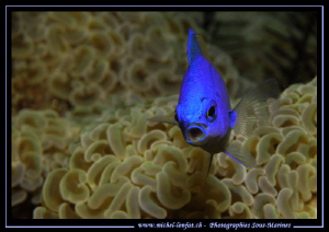 Face to face with this Blue Reef Chromis in the waters of... by Michel Lonfat