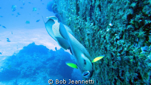 Pair of Angels on wreck dive. Cozumel, mexico by Bob Jeannetti