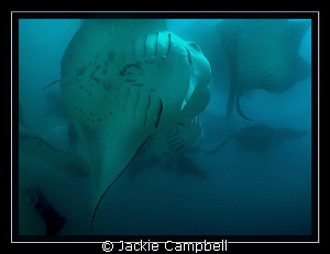 Manta feeding frenzy... :) by Jackie Campbell