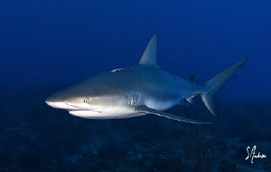 Reef Sharks in numbers patrol ginormous Reef - Bahamas by Steven Anderson