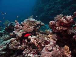 Coral Sea.  Canon G-10.  Ikelite housing, strobes, dome. by Bill Arle