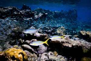 Yellow tail snapper hunting silversides by Bruce Campbell