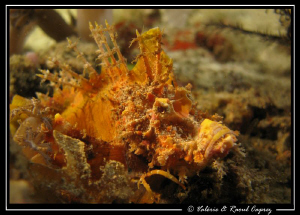 Spiky ? (Inimicus caledonicus) by Raoul Caprez