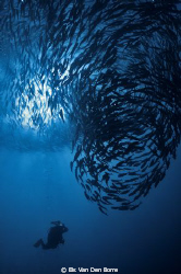 Big school of Jackfishes by Els Van Den Borre