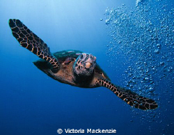 Hawksbill diving from surface by Victoria Mackenzie