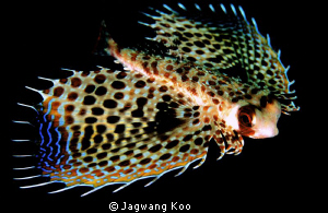 Flying Gurnard by Jagwang Koo