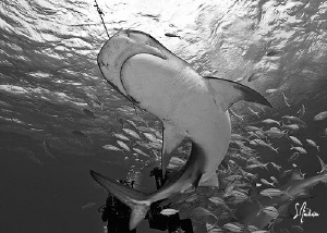 This Tiger Shark performed a ballet for us during a recen... by Steven Anderson