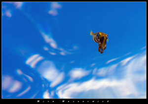 Juvenile Squid with blue sky and some clouds as backgroun... by Rico Besserdich