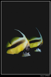 Couple of bannerfishs ... funny guys :-D by Daniel Strub