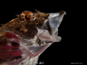 Short-spined sea scorpion -   Myoxocephalus scorpius.