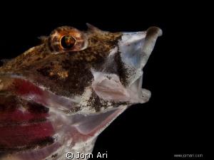 Short-spined sea scorpion -   Myoxocephalus scorpius. Fr... by Jorn Ari
