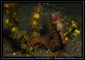 Sea Horse on the sand of Lembeh Strait... Que du bonheur.... by Michel Lonfat