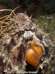 Octopus vulgaris. Olympus c-7070 and YS-60 strob by Carlos Ernesto