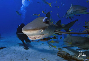 It's all smiles at Tiger Beach with lots of Lemon Sharks ... by Steven Anderson
