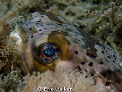 The Puffer by Eric Walker