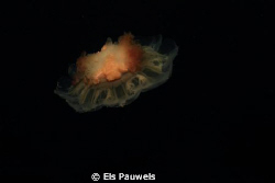 Colorful Jellyfish in Southern Norway by Els Pauwels