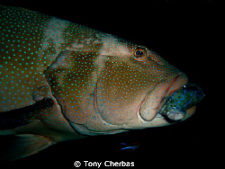 A giant grouper at the Liberty wreck in Bali catches its ... by Tony Cherbas