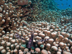 Lionfish on coral.  Coral Sea. by Bill Arle