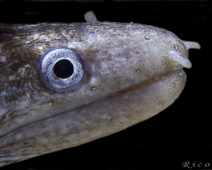 Muray Eel by Rico Besserdich